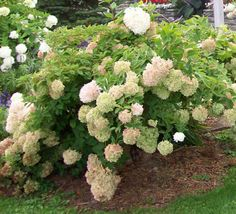 Panicled hydrangea has fat cone-shaped flower clusters that turn from creamy white to antique pink. More sun tolerant than other hydrangeas.
