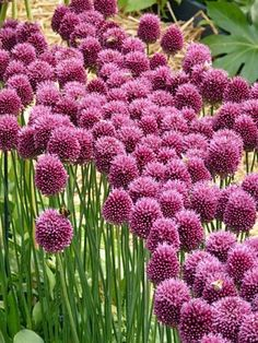 Thanks for stepping up in the garden - Gardening for wildlife - Homes for Wildlife Allium Sphaerocephalon, Cottage Garden Design, Amazing Flowers, Garden Beds, Fresh Flowers, Wildlife, Thankful, Herbs, World