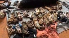 Tailandia: Hallan 40 cachorros de tigre muertos - http://a.tunx.co/Ja18A
