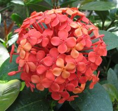 ixora, tropical shrub, flowers come in variety of colours, can be hedged