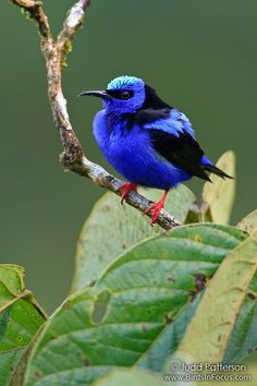 https://flic.kr/p/aTpCUH | Red-legged Honeycreeper | I've wanted to see this bird in the wild for a while...finally had a chance for a few photographs.  Arenal, Costa Rica