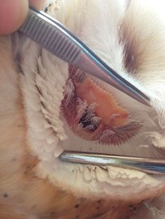This is an owl's ear!