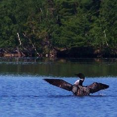 Loon on Lake Pleasant... Picture compliments of Charlie Johns