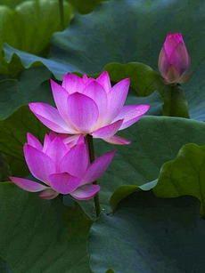 Lotus flowers/Water lilies/Orchids - Lotus bloemen/Water lelies/Orgideeën Easy Flower Crafts That An Water Flowers, Water Plants, Lotus Flowers, Lotus Blossoms, My Flower, Flower Power, Sacred Lotus, Calla, Pink Lotus