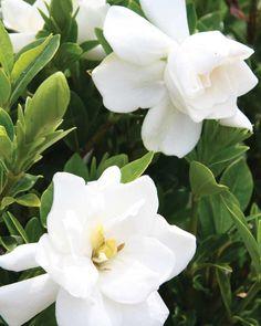 Jubilation™ Gardenia | Shrubs | Southern Living Plant Collection