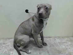 TO BE DESTROYED 5/30/14 Brooklyn Center   My name is MIA. My Animal ID # is A1000980. I am a female brown and white pit bull mix. The shelter thinks I am about 2 YEARS   I came in the shelter as a OWNER SUR on 05/24/2014 from NY 11221, owner surrender reason stated was OWN EVICT. I came in with Group/Litter #K14-178681. https://www.facebook.com/photo.php?fbid=809658349047046&set=a.611290788883804.1073741851.152876678058553&type=3&theater