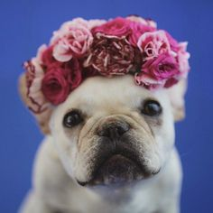 Flower baby, French Bulldog in Roses