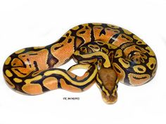 Citrus Hypo - Morph List - World of Ball Pythons