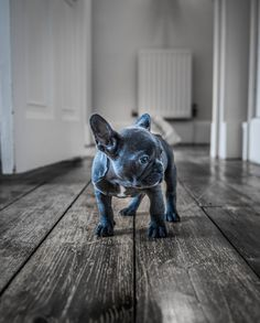 Luna the Blue Frenchie