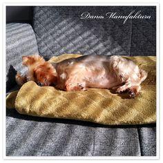 Yorkshire terrier - śpioch