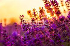 Lavender field in Tihany, Hungary Royalty Free Stock Photo