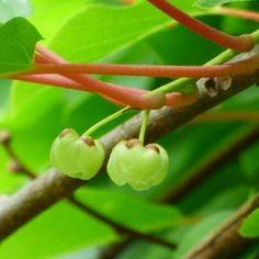 Kiwi Plant Spacing: Planting Female Kiwis Next To Male Kiwi Vines Herb Garden, Vegetable Garden, Kiwi Vine, Birds And The Bees, Vides, Garden Care, Plantar, Urban Farming, Garden Spaces