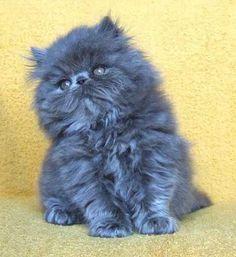 Silver Blue Persian Kitten