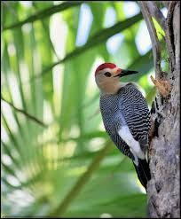 Yucatan Woodpecker Melanerpes pygmaeus - Google Search