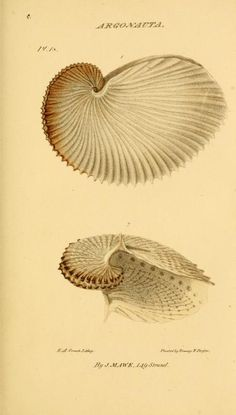 1823 - The Linnæan system of conchology :  also known as Mawe's Conchology.   by John Mawe. - via Biodiversity Heritage Library