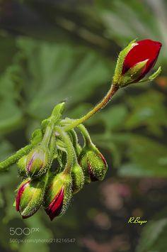 Geranium - Geranium Buds
