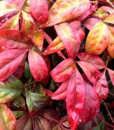 prod_rel.title Evergreen Landscape, Evergreen Shrubs, Trees And Shrubs, Nandina Plant, Shrubs For Sale, Colorful Shrubs, Types Of Mulch