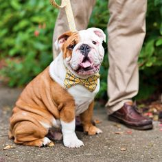 Bow tie dog collar freaking adorable!!!