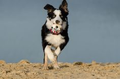 Border Collie  http://how-to-train-a-dog.com/