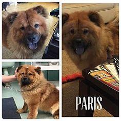 Dix Hills, NY - Chow Chow. Meet PARIS, a dog for adoption. http://www.adoptapet.com/pet/13276021-dix-hills-new-york-chow-chow
