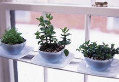 plants in teacups