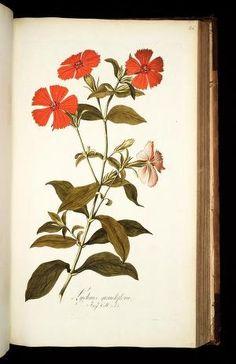 Icones plantarum rariorum /editae Nicolao Josep... (LINK=>DOWNLOAD IMAGE AND FREE DOWNLOAD FULL BOOK; PUBLIC DOMAIN)