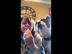 Boston Terrier gets greedy