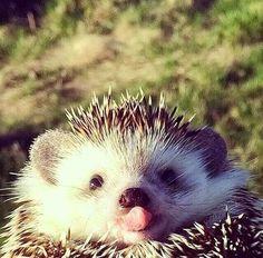 Baby hedgehog. From Cute Animals via Yoshi on Google+.