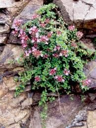 Mother of Thyme (Creeping Thyme) / I tuck this tough little plant everywhere. Creeping Thyme, Short Plants, Mother Plant, Colorful Plants, Woodland Garden, Little Plants, Dream Garden, Garden Planning, Garden Pots