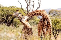 The family is one of nature's masterpieces.  George Santayana  #bushlife #gameviewing #wildlifephotography #wildlifephoto #wildlife #natural #naturephotography #naturepics #natgeophotos #natgeo #natgeoyourshot #wildlifepics #wildlifeshots #canon_photo #canonphotography #photobug #photographer #photography #wildlifephotographer #thisissouthafrica #southafricaza #instagramza #instagramsa #pixel_panda #loves_southafrica