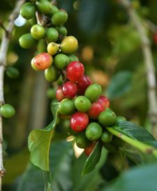 Coffee plant-#MakeTodayBetter
