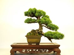 """Kengai"" is words to express the form of the Bonsai. ""Kengai"" is form expressing the tree which grew in severe environment. $550."