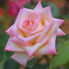 Beautiful Rose Flowers, Pretty Roses, Exotic Flowers, Silk Flowers, Rose Images, Flower Images, Flower Pictures, Rose Reference, Peace Rose