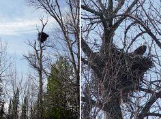 Eagle Sightings near Lake Gogebic