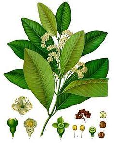 Malagueta, guayabita o pimienta dulce de Jamaica, en alimento y medicina: un antiséptico local, además de un analgésico, y para el alivio de molestias gastrointestinales.