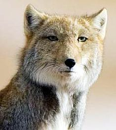 a Tibetan fox - absolutely beautiful and cunning creature. First time I saw it...I didn't think it was real. What an amazing face