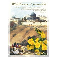 http://www.holylandblossoms.com/the_corn_marigold#.UWsr07VJOAg #CornMarigold #YellowCornflower #WildflowersofJerusalem #HolylandBlossoms