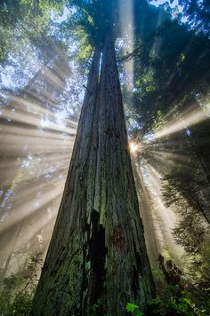 ~~Redwood Starburst ~ crepuscular rays and a foggy day behind a giant redwood tree, California Coast by CraigGoodwin2~~