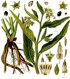 Herb Blurb - Comfrey from wolfbeach farms.  Check out this comprehensive article on comfrey, a wonderful plant to grow in its own right- but planted around baby fruit trees in a permaculture way is super!