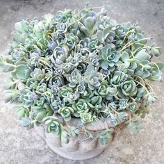 My love for these babes runs deep. #jenssuccs #succulent #orostachysiwarenge #chineseduncecap