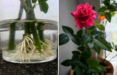 How to root a rose from a bouquet. Use natural stimulants for root formation! - The World of Plants Balcony Garden, Herb Garden, Indoor Garden, Garden Plants, Indoor Plants, Plant Cuttings, Growing Roses, Garden Care, Farm Gardens