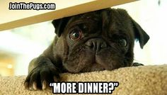 Pugs love dinner