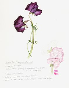 how+to+draw+a+sweet+pea+flower | Category: Botanical Illustration step by step | Comments: 5 | Viewed ...