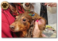 Pet Acupuncture at Bluffs Pet Clinic