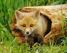 Resultado de imagem para raposa filhote