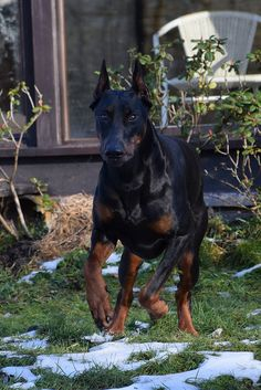 The Doberman Pinscher is among the most popular breed of dogs in the world. Known for its intelligence and loyalty, the Pinscher is both a police- favorite Beautiful Dogs, Animals Beautiful, Cute Animals, Cabras Boer, Doberman Pinscher Dog, Doberman Love, Service Dogs, Best Dogs, Dog Breeds