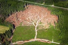 A combination of logging and hurricane damage made this fascinating image of a giant oak tree, photographed from the sky by Swedish photographer Jocke Bergland