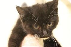 Asheville, NC - Domestic Shorthair. Meet Cartman, a cat for adoption. http://www.adoptapet.com/pet/16692470-asheville-north-carolina-cat