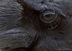 Raven's Eye by Henrik Nilsson on 500px