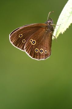 Ringlet butterfly in Bentley Wood Flying Flowers, Moth Caterpillar, Cottage In The Woods, Flying Insects, A Bug's Life, British Wildlife, Colour Pallette, Butterflies, Naturaleza